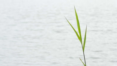 Tall leaves of the bulrushes cumbagi silhouetted against the lake