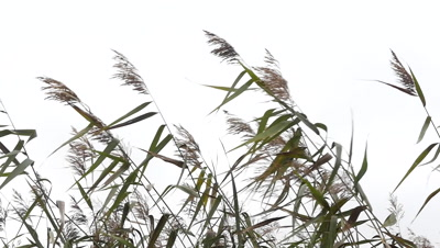 Bulrush cat tail plant with leaves and flower head