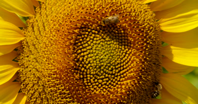 Yellow sunflower field with a bee that pollinates the flower