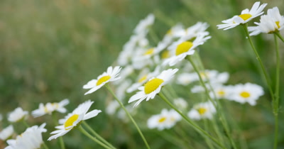 Daisy flowers dancing in the wind against a blurred green background