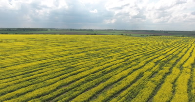 Flying low over a blooming canola field