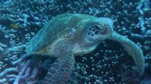 Green Sea Turtle Rests On Plate Coral