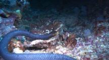 Olive Sea Snake Rests On Bottom