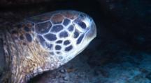 Green Sea Turtle Under Ledge, Swims Toward Diver