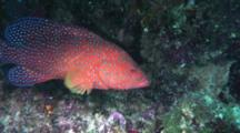 Coral Cod Or Grouper On Reef