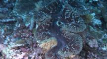 Giant Clam On Reef