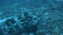 Flowery Cod On Rubble Bottom