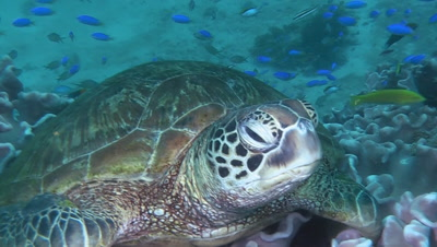 Green Sea Turtle Rests On Coral