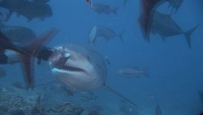 Bull Shark Takes Bait From Diver