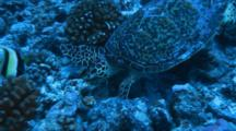 Hawksbill Turtle Feeds By Turning Over Coral On Bottom
