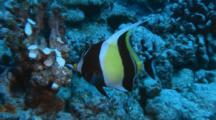 Moorish Idol Feeds On Damaged Coral Head
