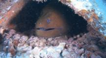 Close Up Of A Giant Moray Eel