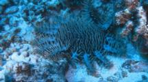 Crown Of Thorn Sea Star Feeds On Coral