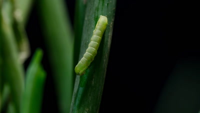 Time Lapse of Beet Army Worm (Spodoptera exigua) Eating Onion