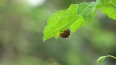A Ladybug Laying Egg Under A Leaf