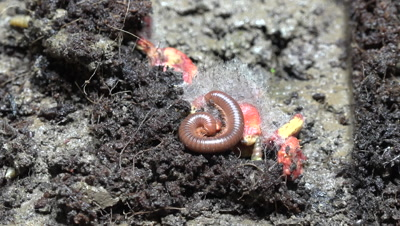 A Rusty Millipede