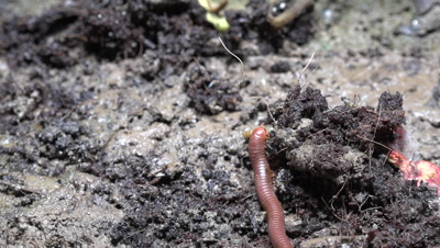 Rusty Millipede On The Soil