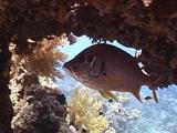 Giant Squirrelfish And Masked Butterflyfish Under Table Coral 01