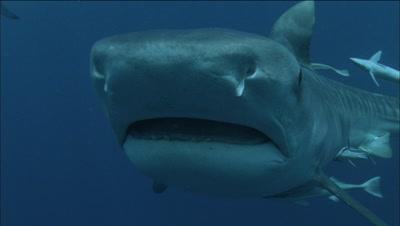Tiger Shark, Close Up Of Mouth