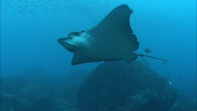 Eagle Ray Swimming Over The Reef