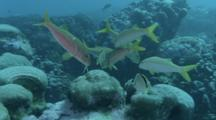 Goatfish Over A Cleaning Station