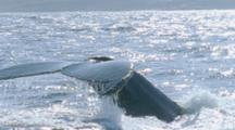 Slow Motion, Whale, Possibly Brydes, Dives And Shows Dorsal Fin And Fluke