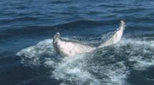 Slow Motion, Whale, Possibly Brydes, Dives And Shows Fluke