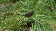 Dark Eyed Junco Feeding In Beach Grass