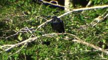 A Large Raven Calling For It's Mate.