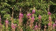 Alaska Fireweed Flowers & Bees