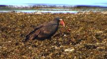A Young Bald Eagle Finds Food With Ocean Background..