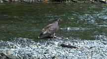 Young Bald Eagle Interacts With A Salmon, Then Takes Off.