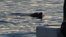 Endangered Steller Sea Lion Harassing A Boater