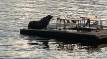 A Very Large Steller Sea Lion Climbing Onto A Fish Cleaning Dock.