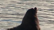 A Very Large Steller Sea Lion Close-Up.