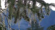 Wet Spruce Tree Moss Blowing In The Wind.