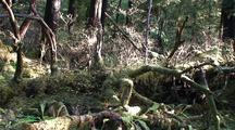Pan Of A Rain Forest Moss Covered Tree Stump. Moss, Forest Debris, Ferns, Nurse Logs, And Ground Cover.