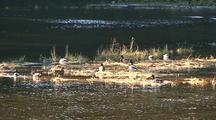 Mallard And Pintail Ducks Taking-Off