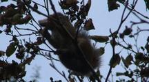 A Squirrel Eating Alder Tree Cones (Rare Occurance)