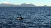 Humpback Whales With The Mt. Edgecumbe Volcano In Background.