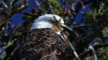 Bald Eagle In A Spruce Tree Tree