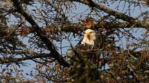 Bald Eagle Hiding In A Spruce Tree