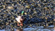A Fat Mallard Duck Drinks Water