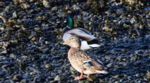 A Mating Pair Of Mallard Ducks