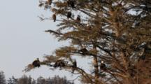 25 Bald Eagles Sitting In A Spruce Tree