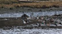 Flock Of Mallard Ducks