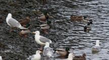 Mallard Ducks And Gulls