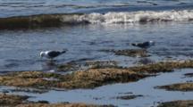 Mew Gulls
