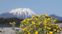 Alaska Poppy With Edgcumbe Volcano Behind