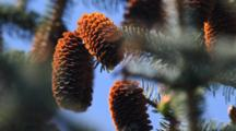 Sitka Spruce Cones